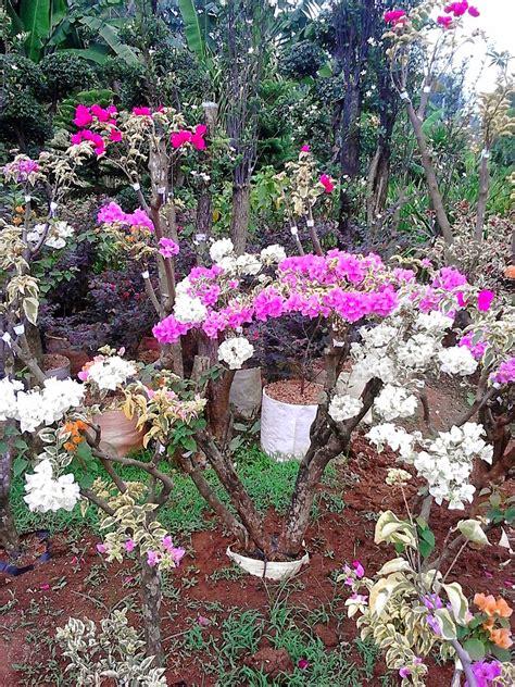 membuat bonsai bunga kertas bougenville pakar jual