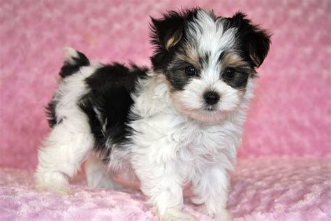 morkie puppies for sale with full grown temperament described