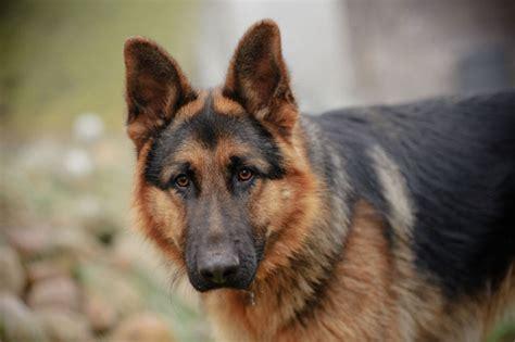Most Dangerous German Shepherd Dogs