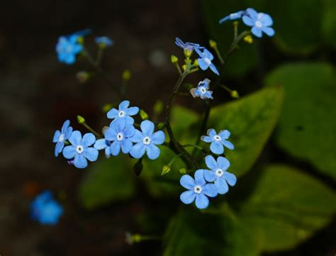tiny blue flower little blue flowers by gothish on deviantart