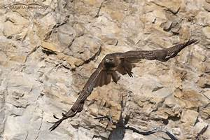 Female Red-tailed Hawk flying in front of a cliff face ...