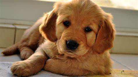 Search free dog wallpapers on zedge and personalize your phone to suit you. cute beige puppy dog with sleepy eyes - Phone wallpapers