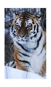 BBC Wild Mission Pitch: Siberian Tiger   Living Image Music