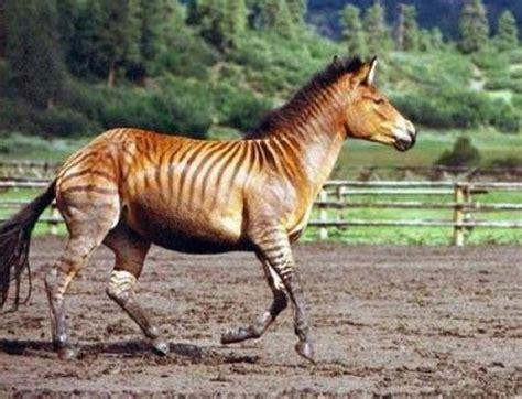 kude zebra usya usya beb