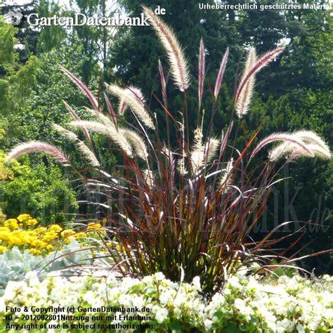 Rotes Ziergras Winterhart by Rotes Ziergras Pennisetum Setaceum Rubrum
