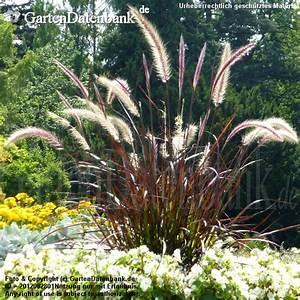 Ziergräser Im Garten Bilder : rotes ziergras pennisetum setaceum 39 rubrum 39 ~ Sanjose-hotels-ca.com Haus und Dekorationen