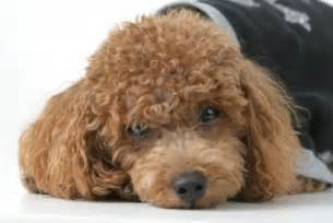 Brown Poodle Puppies