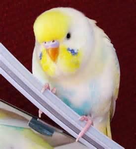 English Budgie Parakeet Colors