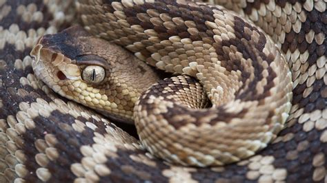 Arizona's rattlesnakes most active April - Sporting ...