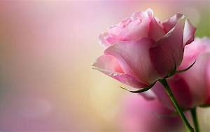 Download Beautiful Pink Roses Wallpaper 41267 1920x1200 px ...