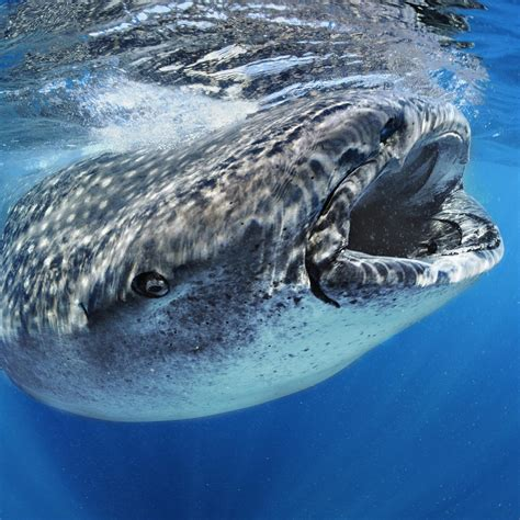 whale shark national geographic
