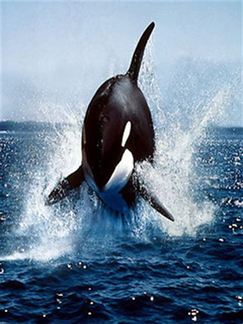 A wallpaper for your phone! Orca Wallpapers HD Free Android App download - Download ...