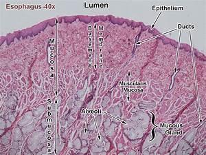 Esophagus Diagram Labeled