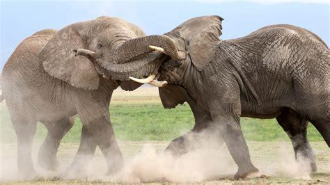Animal Elephants Fighting Hd Wallpapers