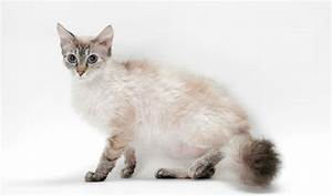 Cats La : laperm cat breed information ~ Orissabook.com Haus und Dekorationen