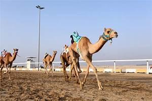 Course De Chameau : course de chameau au qatar photo stock image du arabe 36465552 ~ Medecine-chirurgie-esthetiques.com Avis de Voitures
