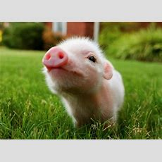 Baby Pig Wallpapers Animals