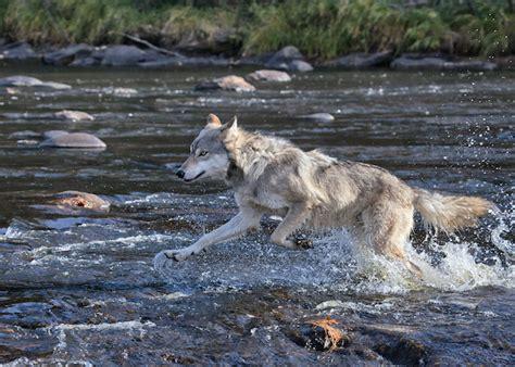 Wolf Spirit Animal