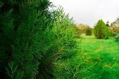 Thuja Brabant Oder Smaragd : thuja smaragd hat braune verf rbungen woran liegt 39 s lebensbaum ~ Orissabook.com Haus und Dekorationen