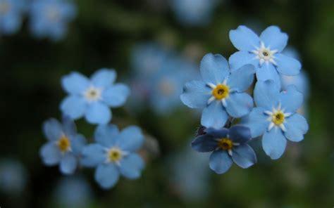 flores azules hd fondoswikicom