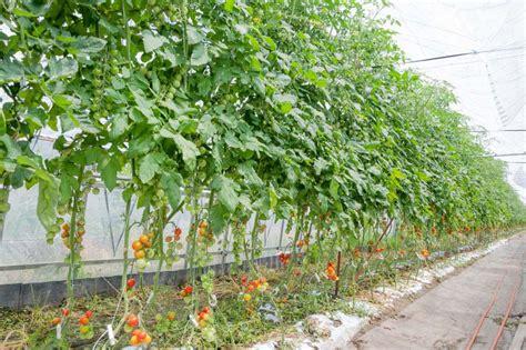 Vertical Tomato Garden