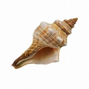 "Fox Conch Shell 6""-7"" Real Sea Shells Beach Party"