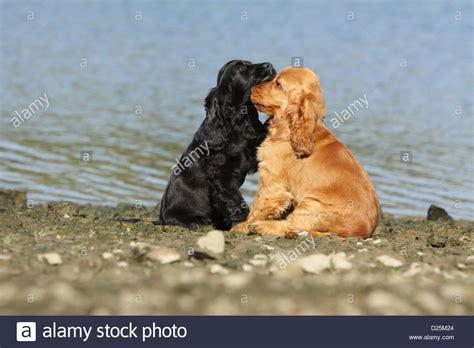 dog english cocker spaniel  puppies red  black