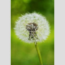 17 Best Images About Blowing Dandelions On Pinterest  New Life, Nature And Make A Wish