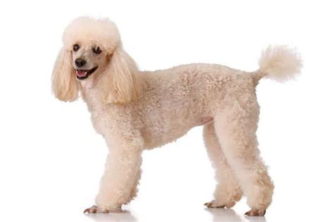 Poodle Cuts And Hairstyles