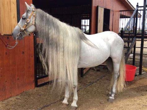 andalusian horse friesian azteca espanol stallion breed breeding stallions pre andaluz grey foal horses spanish makila granon frison maquila texas