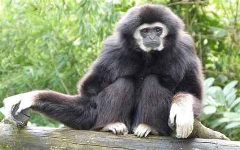 Monkey Facts And Information