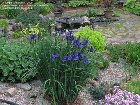 plantfiles pictures siberian iris pirate prince iris