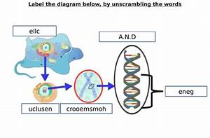 Chromosome  Gene  Dna Diagram Label Worksheets