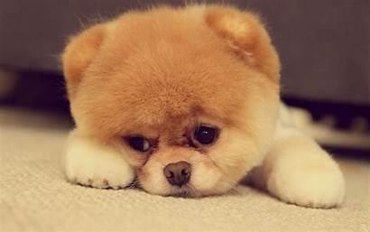 Puppy Dog Cutest Pixelstalk Pomeranian Funny