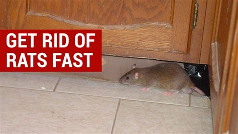how to get rid of mice in house how to get rid of rats in house fast rodent prevention
