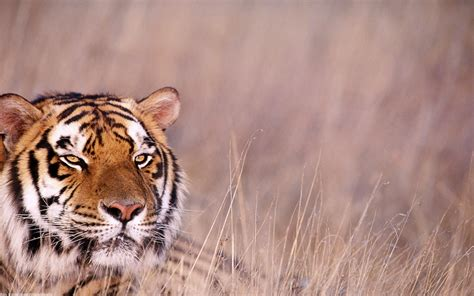 Free Wallpaper Archive 20 Big Cat Wallpapers