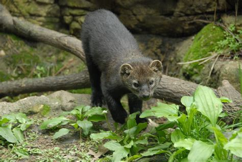 Fisher (Mammals of Wisconsin) · iNaturalist