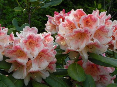 how to plant a rhododendron shrub how to grow and care for rhododendron world of flowering plants