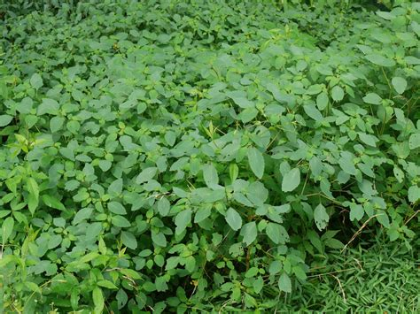 Jewelweed Images Jewelweed Identify That Plant