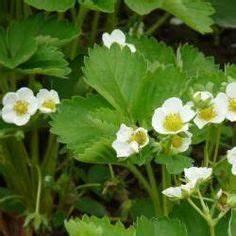 Pflanzen Schneiden Kalender : erdbeeren pflege pflanzen d ngen und schneiden garten ~ Orissabook.com Haus und Dekorationen