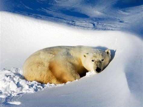 arctic adaptations national geographic society