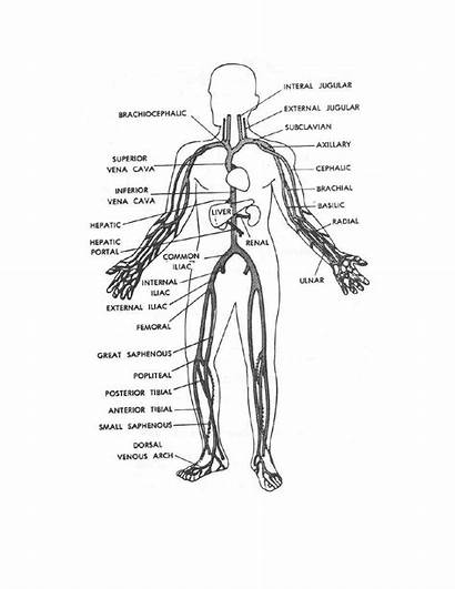 Human Coloring Veins Pages Main Figure Systems