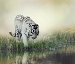 White tiger striped wallpaper | animals | Wallpaper Better
