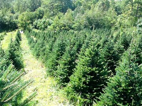 the best christmas tree farms in maine wolf cove inn