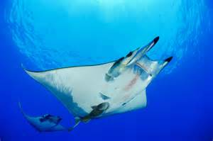 Devil Ray Fish