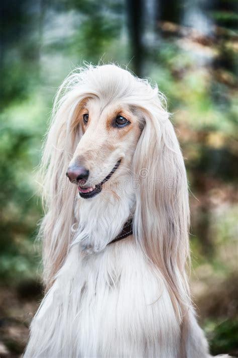 portrait   dog  afghan greyhound  diptych stock