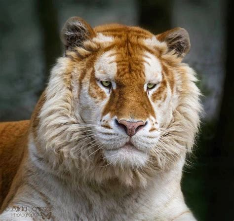 Rare Golden Tabby Tiger Art Fauna Pinterest