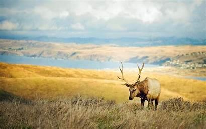 Deer Wild Wildlife Desktop Windows
