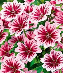 Blumen Lange Blütezeit : stauden malve zebrina 1a stauden kaufen baldur garten ~ Michelbontemps.com Haus und Dekorationen