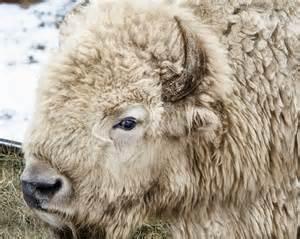 American White Buffalo Bison